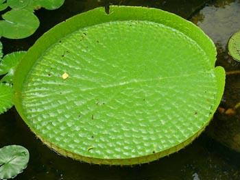 Victoria Regia - the national flower of Guyana