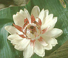 Виктория Регия - национальный цветок Гайаны